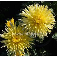 хризантема корейская Секки Векен