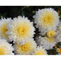 хризантема корейская Элен Вайт