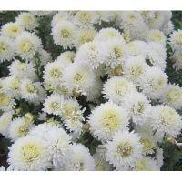 хризантема корейская Умка