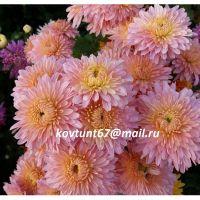 хризантема корейская Утро России