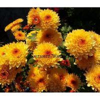 хризантема корейская Солнцецвет