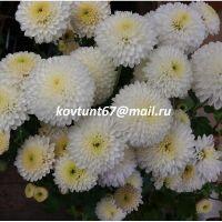 хризантема корейская Натали белая