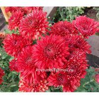 хризантема корейская Gompie Red