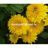 хризантема корейская Littleton Yellow