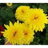 хризантема корейская Gompie Yellow