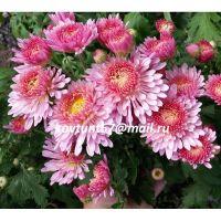 хризантема корейская Перше Кохання