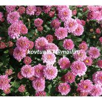 хризантема мультифлора Button Rose