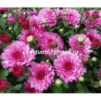 хризантема-мультифлора Livia dark Pink
