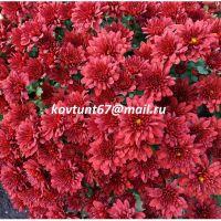 хризантема мультифлора Sunbeam Red