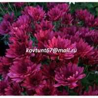 хризантема-мультифлора Cabalero Violet