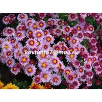 хризантема мультифлора Sunbeam Pink Bicolor