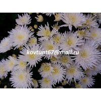 хризантема-мультифлора Wikita