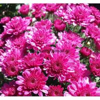 хризантема мультифлора Chelsey Pink