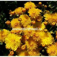 хризантема-мультифлора Venotty Yellow