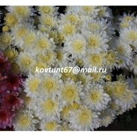 хризантема-мультифлора Sunbeam White