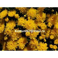 хризантема мультифлора Sunbeam Golden