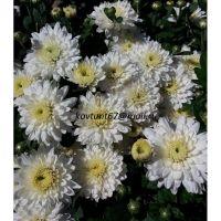 хризантема мультифлора Meridian White