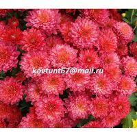 хризантема мультифлора Sunbeam Corall