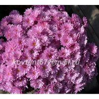 хризантема мультифлора Branbeach Lilak