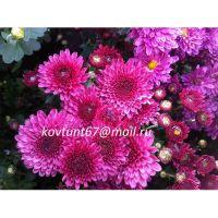 хризантема мультифлора Branfountine Purple