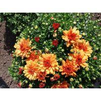 хризантема мультифлора Branbeach Orange