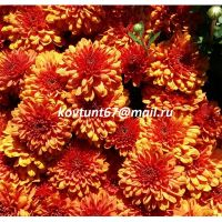 хризантема-мультифлора Ares Rotbronze