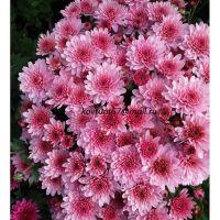 хризантема мультифлора Bransound Pink