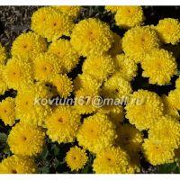хризантема мультифлора Brandove Yellow