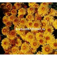 хризантема мультифлора Branindio