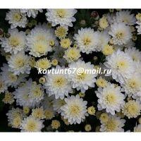 хризантема мультифлора Branbeach White