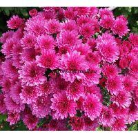 хризантема мультифлора Bransound Purple
