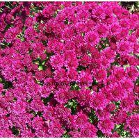 хризантема мультифлора Daniela Purple