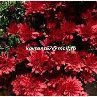 хризантема-мультифлора Arluno Red