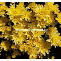 хризантема-мультифлора Arluno Yellow