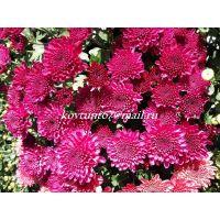 хризантема мультифлора Branhill Purple