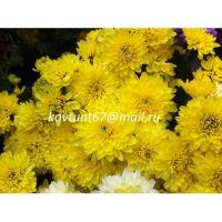 хризантема мультифлора Branfountain Yellow