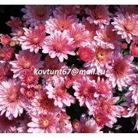 хризантема-мультифлора Arluno Pink