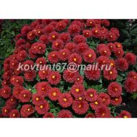 хризантема мультифлора Mulien Rouge