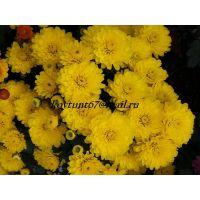 хризантема мультифлора Gigi Yellow