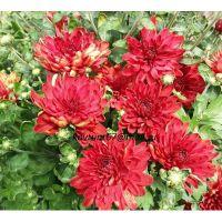 хризантема мультифлора Magdalena Red
