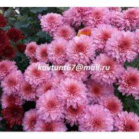 хризантема мультифлора Molfetta Pink