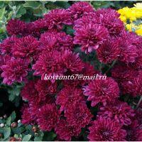 хризантема мультифлора Daybreak Purple