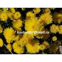 хризантема мультифлора Axima Yellow