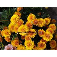 хризантема мультифлора Branking Yellow