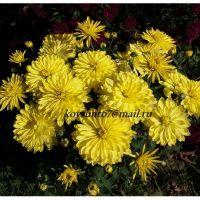 хризантема мультифлора Aluga Yellow