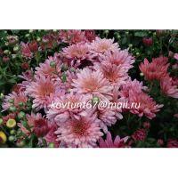 хризантема мультифлора Bigli Pink