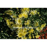 хризантема мультифлора Bigli Yellow