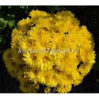 хризантема мультифлора Atlantico Yellow