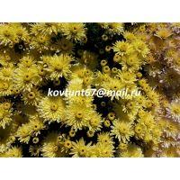 хризантема-мультифлора Paularo Lemon