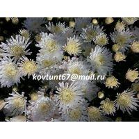 хризантема мультифлора Triki White